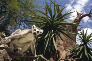 Lemur en el Bioparc de Fuengirola