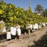 Vinalopo Grapes, Alicante
