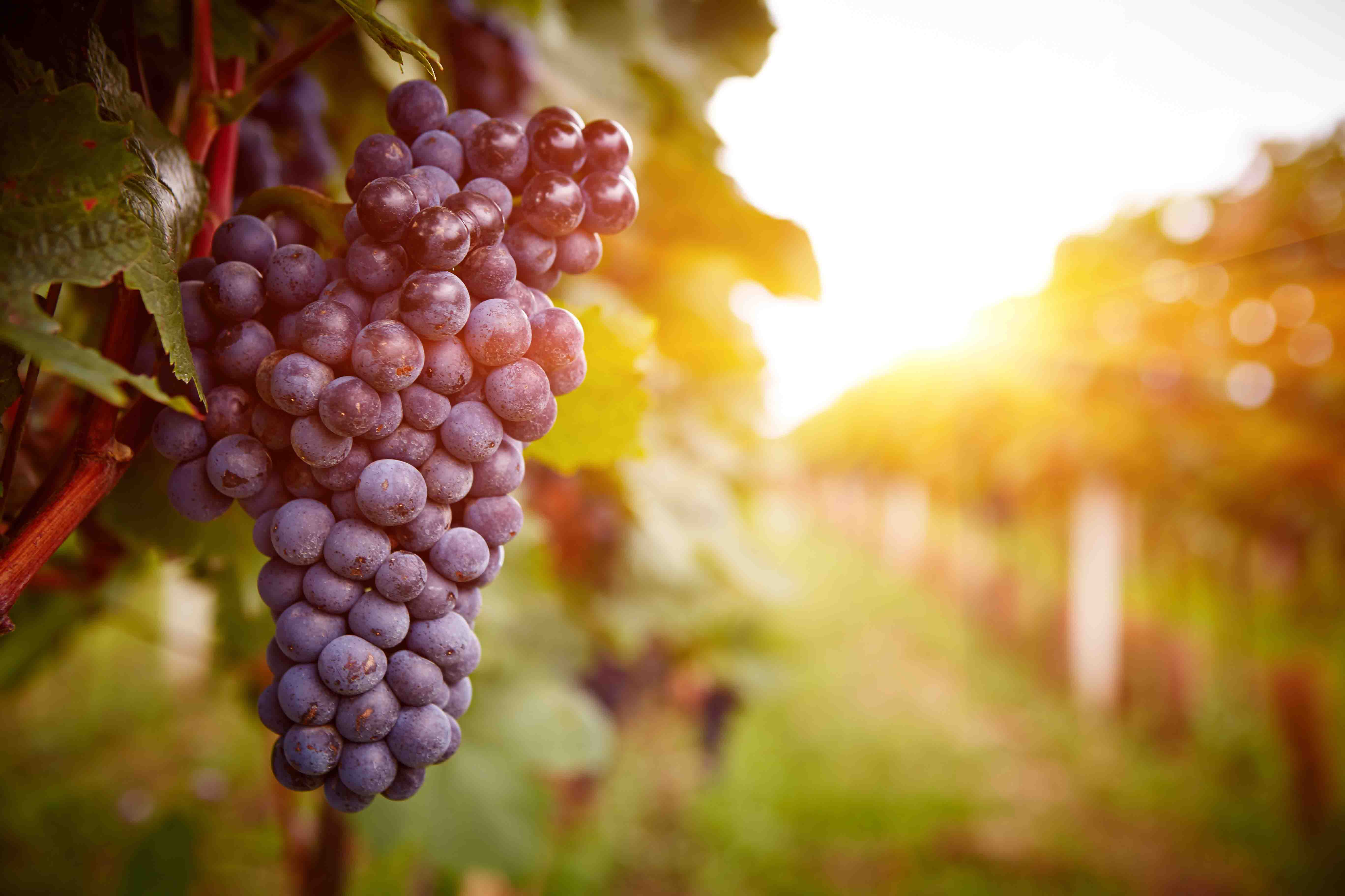 Ruta del vino de alicante enoturismo alicante record go - Stock uno alicante ...